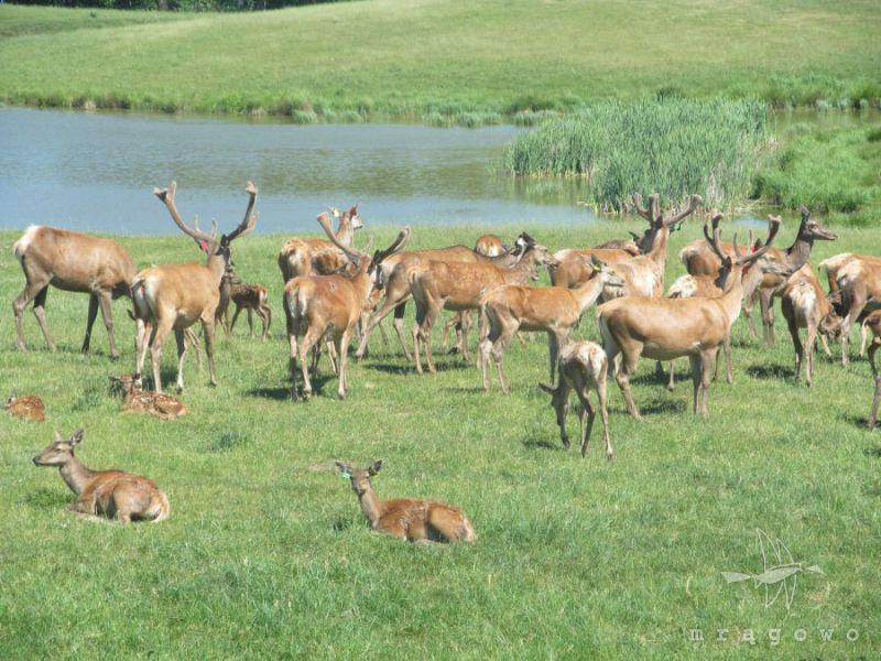 Atrakcja dla całej rodziny - Ferma jeleniowatych w Kosewie Górnym